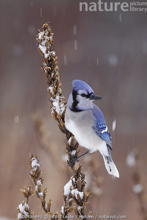 Blue Jay (Cyanocitta cristata) in winter, Nova Scotia, Canada, Adult, Blue Jay, Canada, Color Image, Cyanocitta cristata, Day, Full Length, Nobody, Nova Scotia, One Animal, Outdoors, Photography, Side View, Snowing, Songbird, Vertical, Wildlife, Winter,Blue Jay,Canada, Scott Leslie