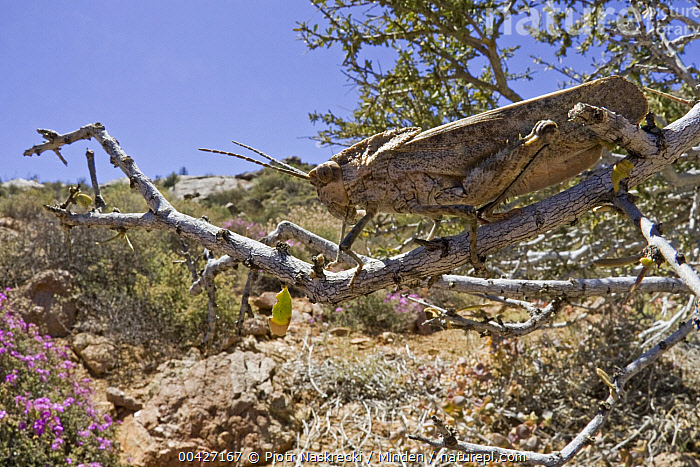 Grasshopper (Pamphagidae), Richtersveld, Northern Cape, South Africa  ,  Adult, Animal in Habitat, Color Image, Day, Full Length, Grasshopper, Horizontal, ILCP, Nobody, Northern Cape, One Animal, Outdoors, Pamphagidae, Photography, Richtersveld, Side View, South Africa, Wide-angle Lens, Wildlife,Grasshopper,South Africa  ,  Piotr Naskrecki