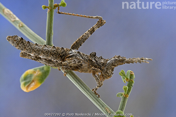 Grasshopper (Pamphagidae), Goegap Nature Reserve, South Africa  ,  Adult, Close Up, Color Image, Day, Full Length, Goegap Nature Reserve, Grasshopper, Horizontal, ILCP, Mimic, Nobody, One Animal, Outdoors, Pamphagidae, Photography, Side View, South Africa, Wildlife,Grasshopper,South Africa  ,  Piotr Naskrecki