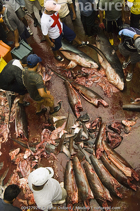 Bigeye Thresher Shark (Alopias superciliosus) and Pelagic Thresher Shark (Alopias pelagicus) probably caught in gill net along with other species, Santa Rosa Fishing Village, Santa Elena Peninsula, Ecuador  ,  Alopias superciliosus, Alopias pelagicus, Bigeye Thresher Shark, Blood, Carcass, Color Image, Commercial, Day, Dead, Ecuador, Fisherman, Fish Market, Fishery, High Angle View, ILCP, Large Group of Animals, Male, Man, Medium Group of People, Outdoors, Pelagic Thresher Shark, Person, Photography, Santa Elena Peninsula, Santa Rosa Fishing Village, Selling, Threatened Species, Vertical, Vulnerable Species, Wildlife,Bigeye Thresher Shark,Pelagic Thresher Shark,Alopias pelagicus,Ecuador  ,  Pete Oxford