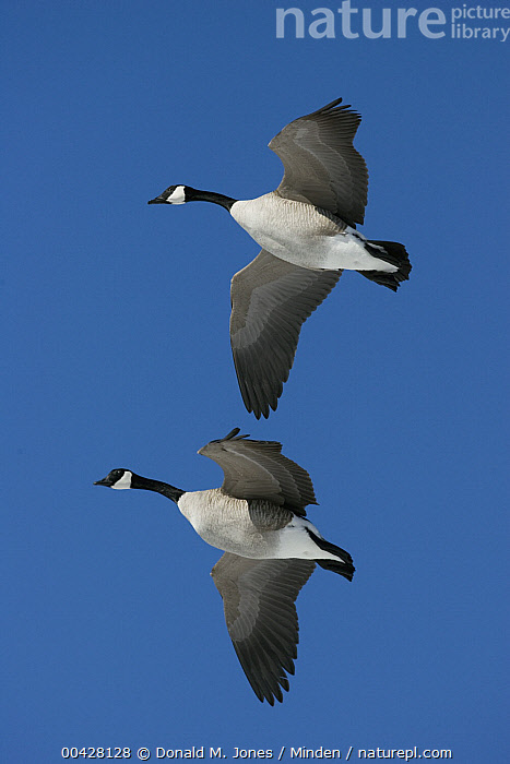Canada Goose (Branta canadensis) pair flying, central Montana, Adult, Branta canadensis, Canada Goose, Color Image, Day, Flying, Full Length, Looking at Camera, Low Angle View, Montana, Nobody, Outdoors, Photography, Side View, Two Animals, Unison, Vertical, Waterfowl, Wildlife,Canada Goose,Montana, USA, Donald M. Jones