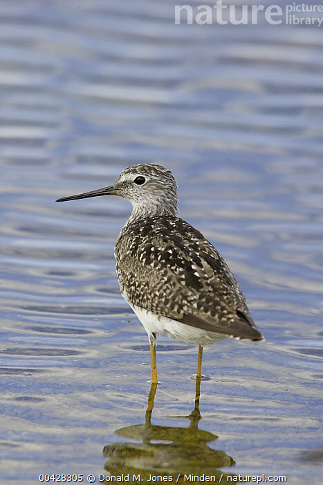 Lesser Yellowlegs (Tringa flavipes) in spring plumage wading in lake, central Montana  ,  Adult, Breeding Plumage, Color Image, Day, Lake, Lesser Yellowlegs, Looking at Camera, Montana, Nobody, One Animal, Outdoors, Photography, Shorebird, Side View, Three Quarter Length, Tringa flavipes, Vertical, Wading, Wildlife,Lesser Yellowlegs,Montana, USA  ,  Donald M. Jones