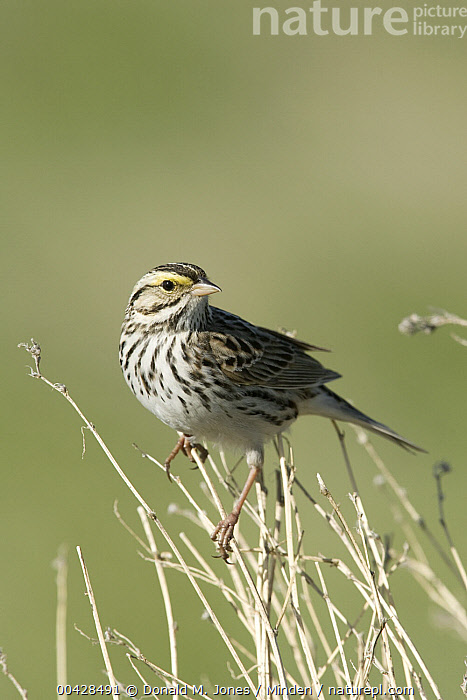 Savannah Sparrow (Passerculus sandwichensis), western Montana  ,  Adult, Color Image, Day, Full Length, Looking at Camera, Montana, Nobody, One Animal, Outdoors, Passerculus sandwichensis, Photography, Savannah Sparrow, Side View, Songbird, Vertical, Wildlife,Savannah Sparrow,Montana, USA  ,  Donald M. Jones