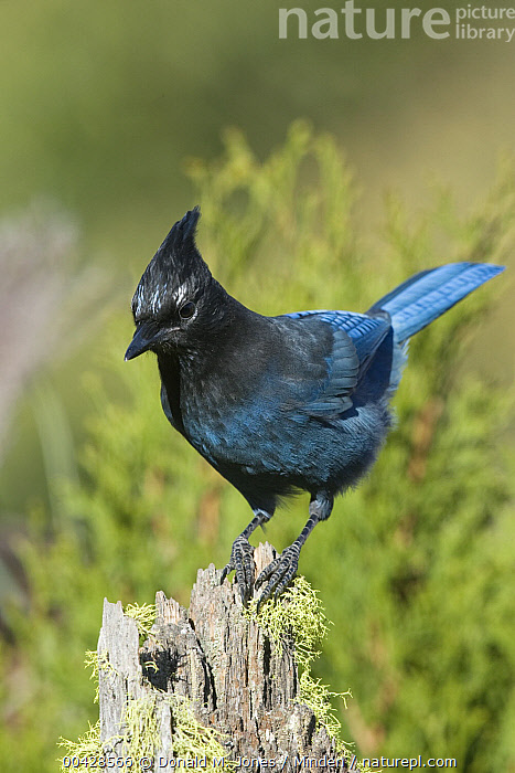 Steller's Jay (Cyanocitta stelleri), western Montana  ,  Adult, Color Image, Cyanocitta stelleri, Day, Full Length, Looking at Camera, Montana, Nobody, One Animal, Outdoors, Photography, Side View, Songbird, Steller's Jay, Vertical, Wildlife,Steller's Jay,Montana, USA  ,  Donald M. Jones
