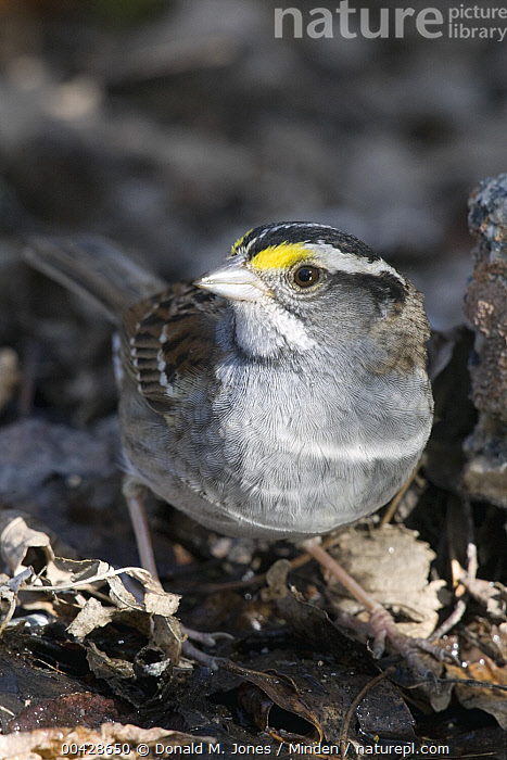 White-throated Sparrow (Zonotrichia albicollis), eastern Montana  ,  Adult, Color Image, Day, Front View, Full Length, Looking at Camera, Montana, Nobody, One Animal, Outdoors, Photography, Songbird, Vertical, White-throated Sparrow, Wildlife, Zonotrichia albicollis,White-throated Sparrow,Montana, USA  ,  Donald M. Jones