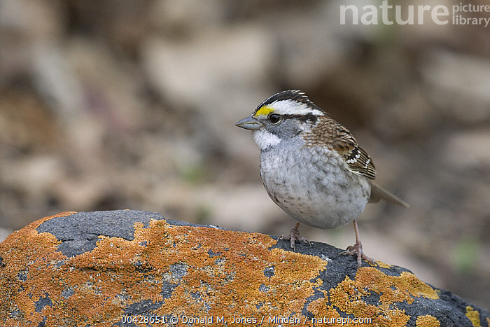 White-throated Sparrow (Zonotrichia albicollis) on lichen covered rock, eastern Montana  ,  Adult, Color Image, Day, Full Length, Horizontal, Looking at Camera, Montana, Nobody, One Animal, Outdoors, Photography, Side View, Songbird, White-throated Sparrow, Wildlife, Zonotrichia albicollis,White-throated Sparrow,Montana, USA  ,  Donald M. Jones