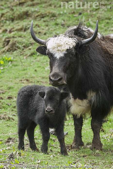 Yak (Bos grunniens) mother and calf, Pele La Pass, Bhutan, Adult, Baby, Bhutan, Bos grunniens, Calf, Color Image, Day, Domestic Animal, Female, Front View, Full Length, ILCP, Mother, Nobody, Outdoors, Parent, Pele La Pass, Photography, Two Animals, Vertical, Waist Up, Wildlife, Yak,Yak,Bhutan, Kevin Schafer