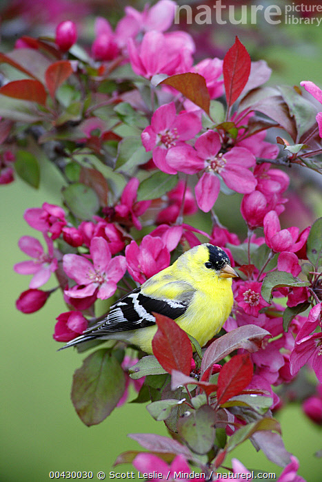 American Goldfinch (Carduelis tristis) male in cherry tree blossoms, Nova Scotia, Canada  ,  Adult, American Goldfinch, Blooming, Canada, Carduelis tristis, Cherry, Color Image, Colorful, Day, Full Length, Male, Nobody, Nova Scotia, One Animal, Outdoors, Photography, Side View, Songbird, Vertical, Wildlife,American Goldfinch,Canada  ,  Scott Leslie
