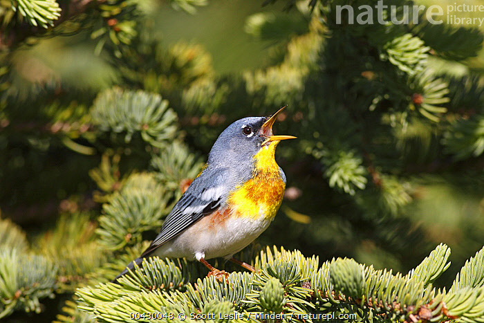 Northern Parula (Setophaga americana) male singing, Nova Scotia, Canada  ,  Adult, Calling, Canada, Color Image, Communicating, Day, Full Length, Horizontal, Male, Nobody, Northern Parula, Nova Scotia, One Animal, Open Mouth, Outdoors, Photography, Setophaga americana, Side View, Singing, Songbird, Wildlife,Northern Parula,Canada  ,  Scott Leslie