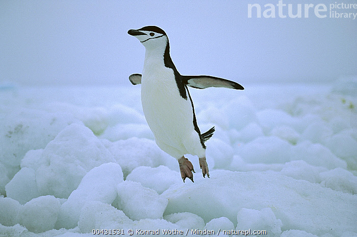 Chinstrap Penguin (Pygoscelis antarctica) hopping over ice, South Sandwich Islands, Antarctica  ,  Adult, Antarctica, Chinstrap Penguin, Color Image, Day, Full Length, Hopping, Horizontal, Ice, Leaping, Nobody, One Animal, Outdoors, Photography, Polar Climate, Pygoscelis antarctica, Seabird, Side View, South Sandwich Islands, Wildlife,Chinstrap Penguin,Antarctica  ,  Konrad Wothe