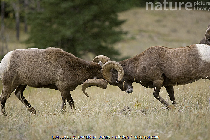 Bighorn Sheep (Ovis canadensis) rams butting heads, western Montana, Adult, Bighorn Sheep, Butting, Color Image, Competition, Day, Fighting, Full Length, Horizontal, Male, Montana, Nobody, Outdoors, Ovis canadensis, Photography, Ram, Side View, Two Animals, Wildlife,Bighorn Sheep,Montana, USA, Donald M. Jones