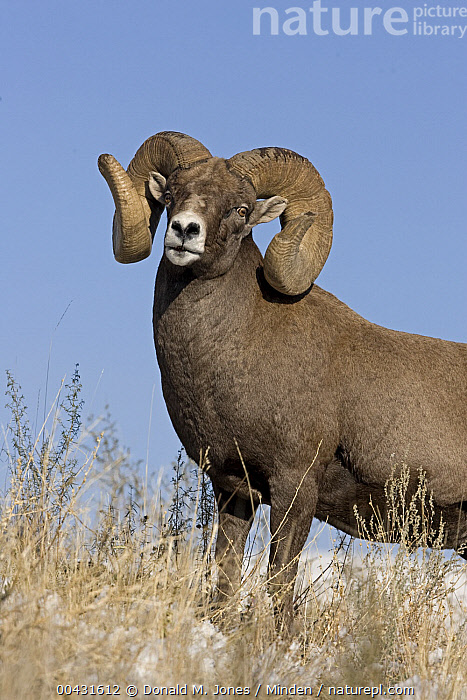 Bighorn Sheep (Ovis canadensis) ram, western Alberta, Canada, Adult, Alberta, Bighorn Sheep, Canada, Color Image, Day, Looking at Camera, Low Angle View, Male, Nobody, One Animal, Outdoors, Ovis canadensis, Photography, Ram, Side View, Vertical, Waist Up, Wildlife,Bighorn Sheep,Canada, Donald M. Jones