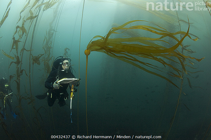 Biologist, Mike Beck, performs rockfish survey in mixed Giant Kelp (Macrocystis pyrifera) and Bull Kelp (Nereocystis luetkeana) bed off Asilomar State Beach, Monterey, California  ,  Asilomar State Beach, Bull Kelp, California, Color Image, Day, Diver, Front View, Full Length, Giant Kelp, Horizontal, Macrocystis pyrifera, Mike Beck, Monterey, Nereocystis luetkeana, One Person, Outdoors, Photography, Research, Researcher, Scuba, Surveying, Underwater,Giant Kelp,Bull Kelp,Nereocystis luetkeana,California, USA  ,  Richard Herrmann