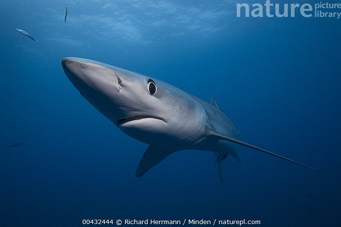 Blue Shark (Prionace glauca), San Diego, California  ,  Adult, Blue Shark, California, Color Image, Day, Front View, Full Length, Horizontal, Nobody, One Animal, Outdoors, Photography, Prionace glauca, San Diego, Underwater, Wildlife,Blue Shark,California, USA  ,  Richard Herrmann