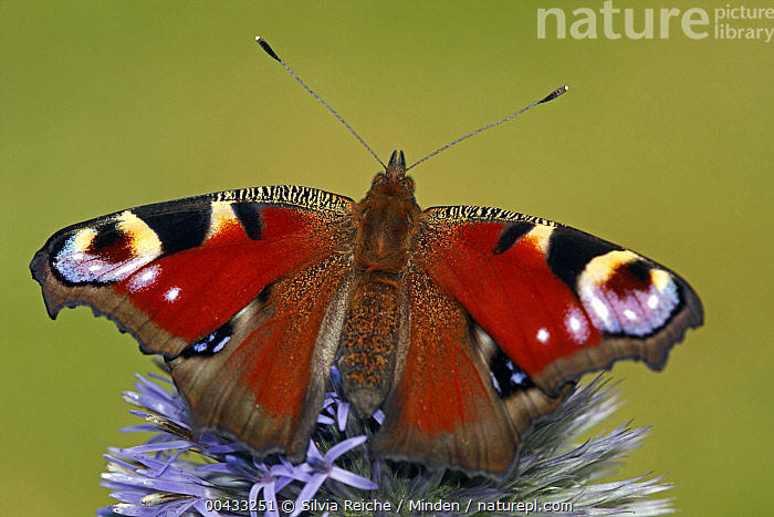 Peacock Butterfly (Inachis io) on flower, Hoogeloon, Noord-Brabant, Netherlands  ,  Adult, Color Image, Day, Eyespot, Flower, Full Length, Hoogeloon, Horizontal, Inachis io, Netherlands, Nobody, Noord-Brabant, One Animal, Outdoors, Peacock Butterfly, Photography, Top View, Wildlife,Peacock Butterfly,Netherlands  ,  Silvia Reiche