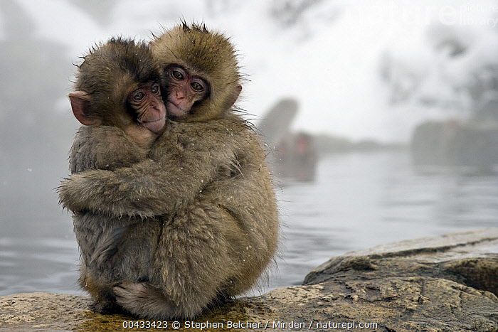 Japanese Macaque (Macaca fuscata) young embracing at edge of hot spring, Jigokudani, Joshinetsu Kogen National Park, Japan  ,  Affection, Baby, Color Image, Cute, Day, Embracing, Full Length, Horizontal, Hot Spring, Hugging, Japan, Japanese Macaque, Jigokudani, Joshinetsu Kogen National Park, Macaca fuscata, Nobody, Outdoors, Photography, Side View, Two Animals, Wildlife, Young,Japanese Macaque,Japan  ,  Stephen Belcher