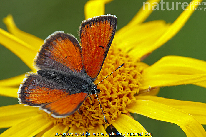 Purple-edged Copper (Lycaena hippothoe) butterfly male, Hohe Tauern National Park, Austria  ,  Adult, Austria, Butterfly, Color Image, Day, Flower, Full Length, High Angle View, Hohe Tauern National Park, Horizontal, Lycaena hippothoe, Male, Nobody, One Animal, Orange, Outdoors, Photography, Purple-edged Copper, Side View, Wildlife, Yellow,Purple-edged Copper,Austria  ,  Silvia Reiche