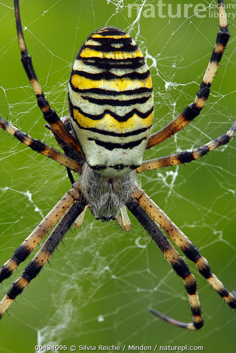 Wasp Spider (Argiope bruennichi) in web, Hoogeloon, Noord-Brabant, Netherlands  ,  Adult, Argiope bruennichi, Color Image, Day, Hoogeloon, Netherlands, Nobody, Noord-Brabant, One Animal, Outdoors, Photography, Spider Web, Three Quarter Length, Top View, Vertical, Wasp Spider, Wildlife,Wasp Spider,Netherlands  ,  Silvia Reiche