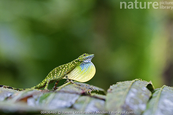 O'Shaughnessy's Anole (Anolis gemmosus) male in courtship, Andes, Ecuador  ,  Adult, Andes, Anolis gemmosus, Color Image, Courtship, Day, Displaying, Ecuador, Full Length, Horizontal, Male, Nobody, O'Shaughnessy's Anole, One Animal, Outdoors, Photography, Side View, Throat Fan, Wildlife,O'Shaughnessy's Anole,Ecuador  ,  James Christensen