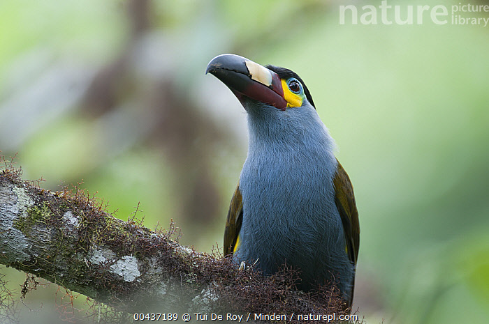 Plate-billed Mountain-Toucan (Andigena laminirostris), Bellavista Cloud Forest Reserve, Ecuador, Adult, Andigena laminirostris, Bellavista Cloud Forest Reserve, Color Image, Day, Ecuador, Front View, Horizontal, ILCP, Looking at Camera, Low Angle View, Nobody, One Animal, Outdoors, Photography, Plate-billed Mountain-Toucan, Waist Up, Wildlife,Plate-billed Mountain-Toucan,Ecuador, Tui De Roy