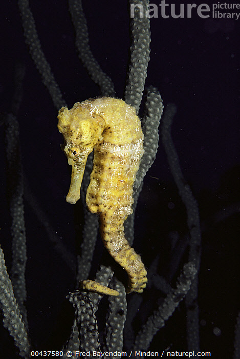 Long-snouted Seahorse (Hippocampus reidi), Bonaire, Caribbean  ,  Adult, Bonaire, Caribbean, Clinging, Color Image, Day, Full Length, Hippocampus reidi, Long-snouted Seahorse, Nobody, One Animal, Outdoors, Photography, Side View, Underwater, Vertical, Wildlife, Wrapped, Yellow,Long-snouted Seahorse,Caribbean  ,  Fred Bavendam