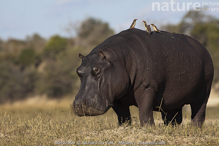 Hippopotamus (Hippopotamus amphibius) male with Red-billed Oxpecker (Buphagus erythrorhynchus) pair on back, Chobe National Park, Botswana  ,  Adult, Botswana, Buphagus erythrorhynchus, Chobe National Park, Color Image, Day, Four Animals, Full Length, Hippopotamus, Hippopotamus amphibius, Horizontal, Looking at Camera, Male, Nobody, One Animal, Outdoors, Photography, Red-billed Oxpecker, Side View, Songbird, Symbiosis, Threatened Species, Vulnerable Species, Wildlife,Hippopotamus,Red-billed Oxpecker,Buphagus erythrorhynchus,Botswana  ,  Richard Du Toit