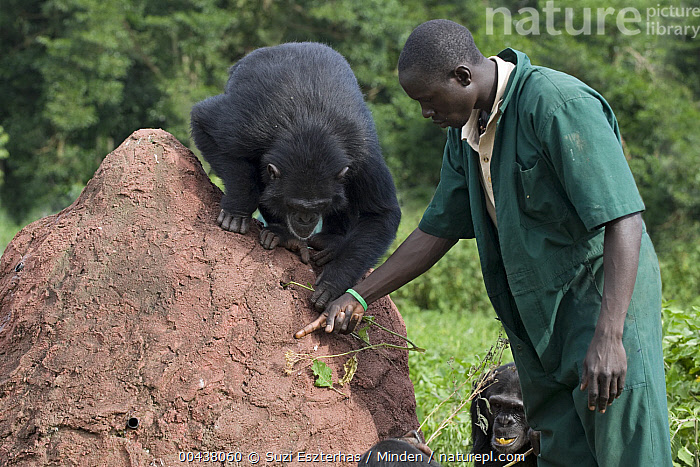Chimpanzee (Pan troglodytes) being shown how to use twig to extract honey out of a hole by caretaker Rodney Lemata, Ngamba Island Chimpanzee Sanctuary, Uganda, Adult, African Descent, Care Taker, Chimpanzee, Color Image, Day, Endangered Species, Front View, Full Length, Honey, Horizontal, ILCP, Learning, Male, Man, Ngamba Island Chimpanzee Sanctuary, One Person, Outdoors, Pan troglodytes, Photography, Rodney Lemata, Teaching, Termite Fishing, Tool Use, Twig, Uganda, Wildlife, Young Adult,Chimpanzee,Uganda, Suzi Eszterhas