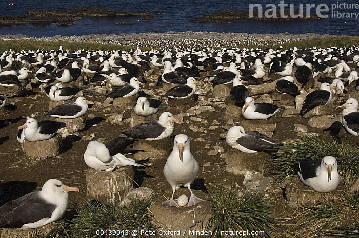 Black-browed Albatross (Thalassarche melanophrys) nesting colony, Steeple Jason Island, Falkland Islands  ,  Adult, Black-browed Albatross, Color Image, Colony, Day, Egg, Endangered Species, Falkland Islands, Full Length, Horizontal, Large Group of Animals, Nest, Nesting, Nobody, Outdoors, Photography, Seabird, Side View, Steeple Jason Island, Thalassarche melanophrys, Wildlife,Black-browed Albatross,Falkland Islands  ,  Pete Oxford