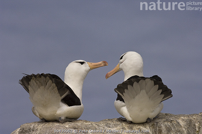 Black-browed Albatross (Thalassarche melanophrys) pair courting, Steeple Jason Island, Falkland Islands  ,  Adult, Black-browed Albatross, Color Image, Communicating, Courting, Day, Endangered Species, Falkland Islands, Full Length, Horizontal, Nobody, Outdoors, Photography, Rear View, Seabird, Steeple Jason Island, Tail, Thalassarche melanophrys, Two Animals, Wildlife,Black-browed Albatross,Falkland Islands  ,  Pete Oxford