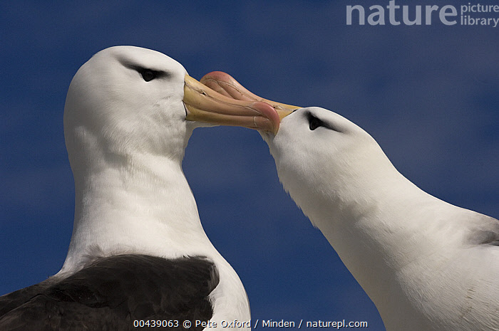 Black-browed Albatross (Thalassarche melanophrys) pair courting, Steeple Jason Island, Falkland Islands  ,  Adult, Billing, Black-browed Albatross, Color Image, Courting, Day, Endangered Species, Falkland Islands, Female, Horizontal, Male, Nobody, Outdoors, Photography, Seabird, Side View, Steeple Jason Island, Thalassarche melanophrys, Two Animals, Waist Up, Wildlife,Black-browed Albatross,Falkland Islands  ,  Pete Oxford