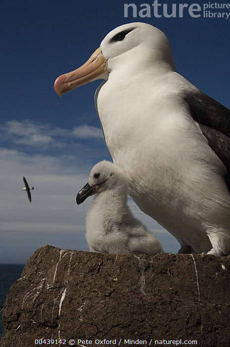 Black-browed Albatross (Thalassarche melanophrys) with chick on pedestal nest, Saunders Island, Falkland Islands  ,  Adult, Baby, Black-browed Albatross, Chick, Color Image, Day, Endangered Species, Falkland Islands, Nest, Nobody, Outdoors, Parent, Photography, Saunders Island, Seabird, Side View, Thalassarche melanophrys, Two Animals, Vertical, Waist Up, Wildlife,Black-browed Albatross,Falkland Islands  ,  Pete Oxford
