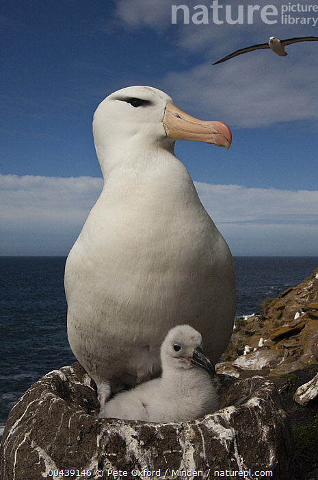 Black-browed Albatross (Thalassarche melanophrys) with chick, Saunders Island, Falkland Islands  ,  Adult, Baby, Black-browed Albatross, Chick, Color Image, Day, Endangered Species, Falkland Islands, Front View, Nest, Nobody, Outdoors, Parent, Photography, Saunders Island, Seabird, Thalassarche melanophrys, Two Animals, Vertical, Waist Up, Wildlife,Black-browed Albatross,Falkland Islands  ,  Pete Oxford