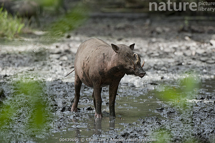 Nature Picture Library North Sulawesi Babirusa Babyrousa Celebensis Female Indonesia Chien Lee