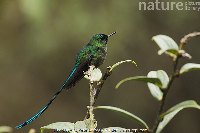 Long-tailed Sylph (Aglaiocercus kingi) hummingbird male in cloud forest, Tapichalaca Reserve, Ecuador  ,  Adult, Aglaiocercus kingi, Cloud Forest, Color Image, Day, Ecuador, Full Length, Horizontal, Hummingbird, Long-tailed Sylph, Male, Nobody, One Animal, Outdoors, Photography, Side View, Tapichalaca Reserve, Wildlife,Long-tailed Sylph,Ecuador  ,  Pete Oxford