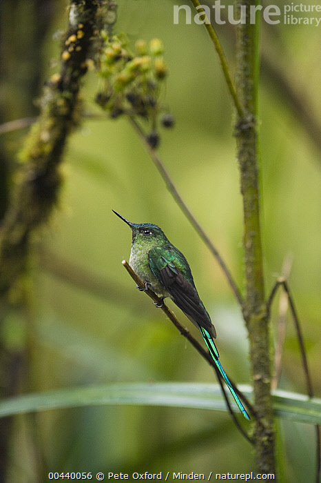 Long-tailed Sylph (Aglaiocercus kingi) hummingbird male in cloud forest, Tapichalaca Reserve, Ecuador  ,  Adult, Aglaiocercus kingi, Cloud Forest, Color Image, Day, Ecuador, Full Length, Hummingbird, Long-tailed Sylph, Male, Nobody, One Animal, Outdoors, Photography, Side View, Tapichalaca Reserve, Vertical, Wildlife,Long-tailed Sylph,Ecuador  ,  Pete Oxford