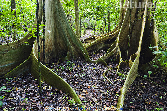 Buttress roots of giant trees in tropical rainforest, Tongkoko Reserve, Sulawesi, Indonesia, Buttress Root, Color Image, Day, Horizontal, Indonesia, Interior, Landscape, Nobody, Outdoors, Photography, Rainforest, Sulawesi, Tree, Tree Trunk, Tropical Rainforest,Indonesia, Theo Allofs