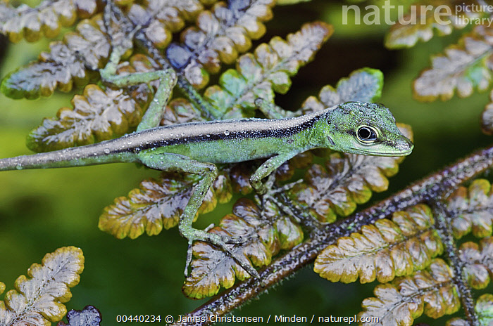 O'Shaughnessy's Anole (Anolis gemmosus) newly hatched female on fern, Mindo, Ecuador  ,  Anolis gemmosus, Color Image, Day, Ecuador, Female, Fern, Full Length, Horizontal, Mindo, Nobody, O'Shaughnessy's Anole, One Animal, Outdoors, Photography, Side View, Wildlife, Young,O'Shaughnessy's Anole,Ecuador  ,  James Christensen