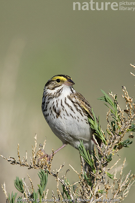 Savannah Sparrow (Passerculus sandwichensis) perching on sage, central Montana  ,  Adult, Color Image, Day, Full Length, Montana, Nobody, One Animal, Outdoors, Passerculus sandwichensis, Photography, Sage, Savannah Sparrow, Side View, Songbird, Vertical, Wildlife,Savannah Sparrow,Montana, USA  ,  Donald M. Jones