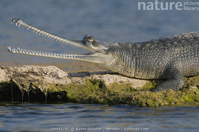 Gharial (Gavialis gangeticus) thermoregulating, National Chambal Sanctuary, Madhya Pradesh, India, Adult, Color Image, Critically Endangered Species, Day, Endangered Species, Gavialis gangeticus, Gharial, Horizontal, India, Madhya Pradesh, National Chambal Sanctuary, Nobody, One Animal, Open Mouth, Outdoors, Photography, Side View, Thermoregulating, Waist Up, Wildlife,Gharial,India, Kevin Schafer