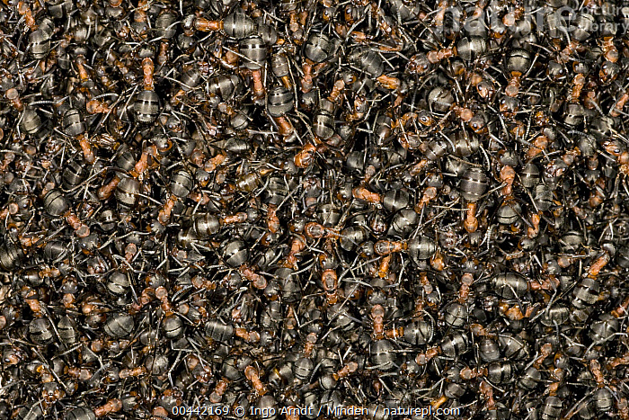 Red Wood Ant (Formica rufa) mass sunbathing at nest, Hessen, Germany  ,  Adult, Color Image, Day, Formica rufa, Full Frame, Full Length, Germany, Hessen, Horizontal, Large Group of Animals, Nature Pattern, Nobody, Outdoors, Photography, Red Wood Ant, Sunbathing, Top View, Wildlife,Red Wood Ant,Germany  ,  Ingo Arndt