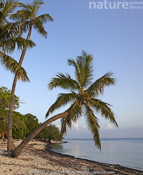 Palmetto Bay beach and palm trees, Roatan Island, Honduras  ,  Bay, Beach, Beachscape, Color Image, Day, Honduras, Landscape, Nobody, Outdoors, Palm, Palmetto Bay, Photography, Roatan Island, Tranquility, Tropical, Vertical,Honduras  ,  Tim Fitzharris