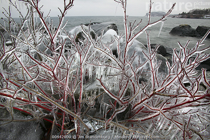 Red-osier Dogwood (Cornus sericea) covered in ice, Tettegouche State Park, north shore of Lake Superior, Minnesota  ,  Color Image, Cornus sericea, Day, Frozen, Horizontal, Ice, Lake Superior, Landscape, Minnesota, Nobody, Outdoors, Photography, Red, Red-osier Dogwood,Red-osier Dogwood,Minnesota, USA  ,  Jim Brandenburg