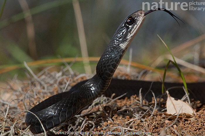 Southern Black Racer (Coluber constrictor priapus) with tongue extended, Little St. Simon's Island, Georgia  ,  Color Image, Coluber constrictor priapus, Day, Georgia, Horizontal, Little St. Simon's Island, Nobody, One Animal, Outdoors, Photography, Side View, Smelling, Southern Black Racer, Tongue, Waist Up, Wildlife,Southern Black Racer,Georgia, USA  ,  Pete Oxford