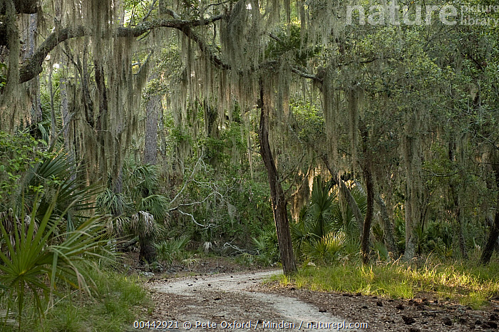 Spanish Moss (Tillandsia complanata) growing on Southern Live Oak (Quercus virginiana), Little St. Simon's Island, Georgia  ,  Color Image, Day, Georgia, Horizontal, Interior, Landscape, Little St. Simon's Island, Moody, Nobody, Outdoors, Path, Photography, Quercus virginiana, Spanish Moss, Tillandsia complanata, Trail,Spanish Moss,Southern Live Oak,Quercus virginiana,Georgia, USA  ,  Pete Oxford