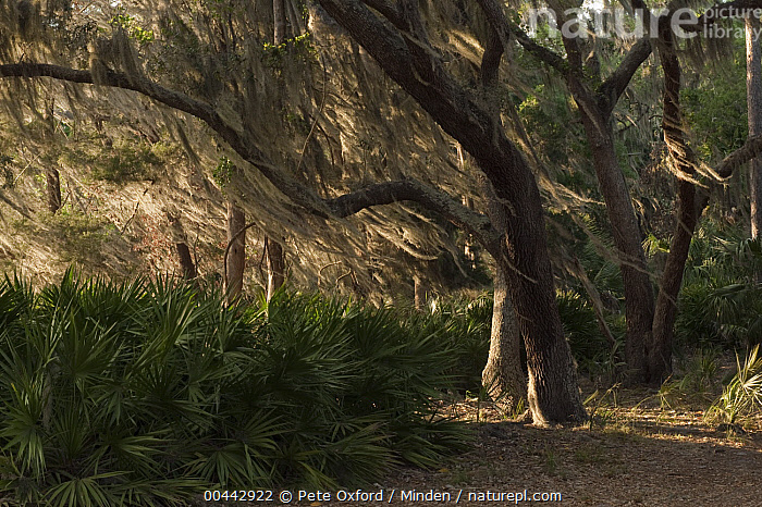 Spanish Moss (Tillandsia complanata) growing on Southern Live Oak (Quercus virginiana) blowing in the wind, Little St. Simon's Island, Georgia  ,  Blowing, Color Image, Day, Georgia, Horizontal, Interior, Landscape, Little St. Simon's Island, Moody, Nobody, Outdoors, Photography, Quercus virginiana, Spanish Moss, Tillandsia complanata, Wind,Spanish Moss,Southern Live Oak,Quercus virginiana,Georgia, USA  ,  Pete Oxford