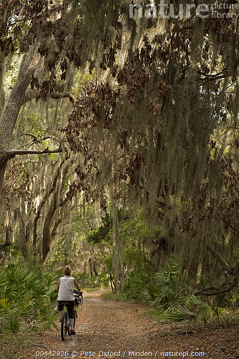 Spanish Moss (Tillandsia complanata) growing on Southern Live Oak (Quercus virginiana) with dirt road and cyclist, Little St. Simon's Island, Georgia  ,  Beginning, Bicycle, Color Image, Cyclist, Day, Dirt Road, Georgia, Landscape, Little St. Simon's Island, One Person, Outdoors, Path, Photography, Quercus virginiana, Rider, Riding, Spanish Moss, Tillandsia complanata, Vertical,Spanish Moss,Southern Live Oak,Quercus virginiana,Georgia, USA  ,  Pete Oxford