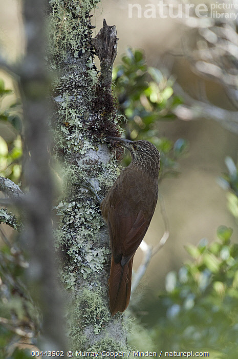 Strong-billed Woodcreeper (Xiphocolaptes promeropirhynchus) on licen-covered snag, Colombia  ,  Adult, Color Image, Colombia, Day, Full Length, Nobody, One Animal, Outdoors, Photography, Side View, Snag, Strong-billed Woodcreeper, Vertical, Wildlife, Xiphocolaptes promeropirhynchus,Strong-billed Woodcreeper,Colombia  ,  Murray Cooper