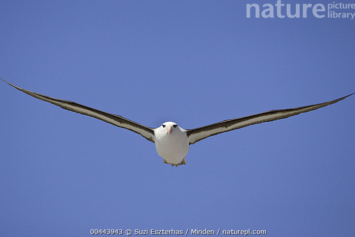 Black-browed Albatross (Thalassarche melanophrys) flying, Steeple Jason Island, Falkland Islands  ,  Adult, Approaching, Black-browed Albatross, Color Image, Day, Endangered Species, Falkland Islands, Flying, Front View, Full Length, Horizontal, Low Angle View, Nobody, One Animal, Outdoors, Photography, Seabird, Steeple Jason Island, Thalassarche melanophrys, Wildlife,Black-browed Albatross,Falkland Islands  ,  Suzi Eszterhas