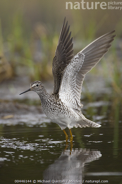 Lesser Yellowlegs (Tringa flavipes) stretching wings, Alaska  ,  Adult, Alaska, Color Image, Day, Full Length, Lesser Yellowlegs, Nobody, One Animal, Outdoors, Photography, Shorebird, Side View, Spreading Wings, Stretching, Tringa flavipes, Vertical, Wildlife, Wing,Lesser Yellowlegs,Alaska, USA  ,  Michael Quinton