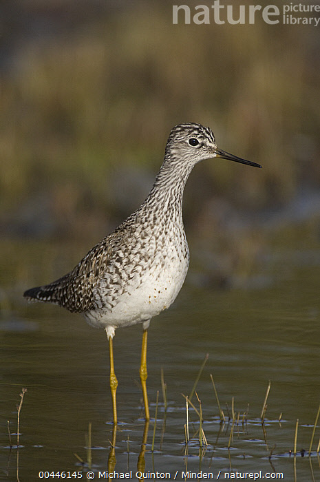 Lesser Yellowlegs (Tringa flavipes), Alaska  ,  Adult, Alaska, Color Image, Day, Full Length, Lesser Yellowlegs, Looking at Camera, Nobody, One Animal, Outdoors, Photography, Shorebird, Side View, Tringa flavipes, Vertical, Wildlife,Lesser Yellowlegs,Alaska, USA  ,  Michael Quinton